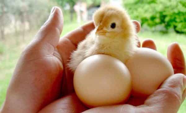 Chọn gà giống tốt: 9 tiêu chí cần biết