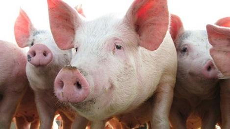 Giá lợn hơi tại Trung Quốc lên xấp xỉ 100.000 đồng/kg